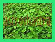 images/herbs/indian pennywort